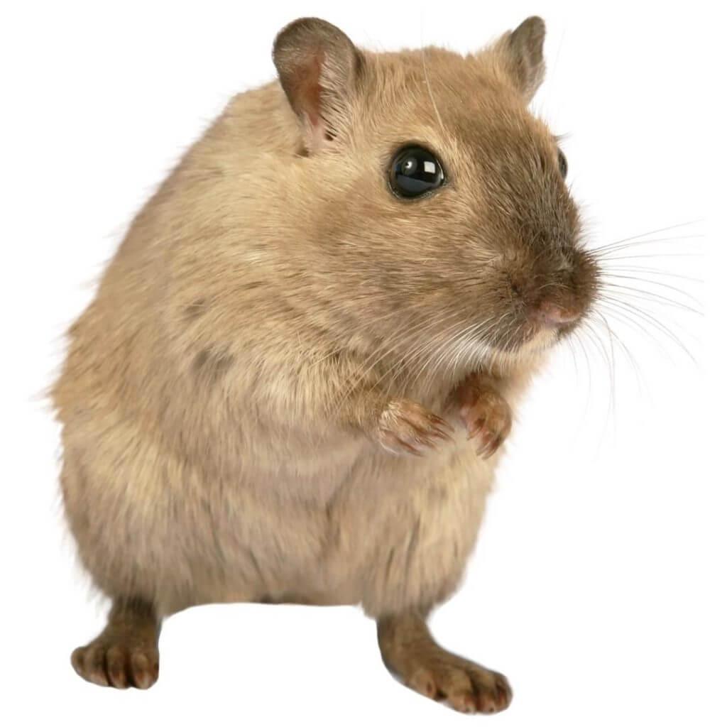 desratização ou dedetização para ratos