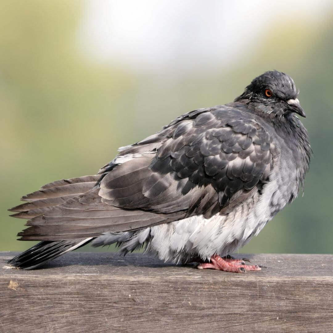 afastamento de pombos