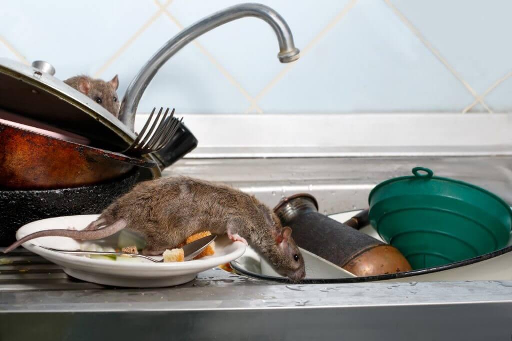sinais de que seu local possui ratos