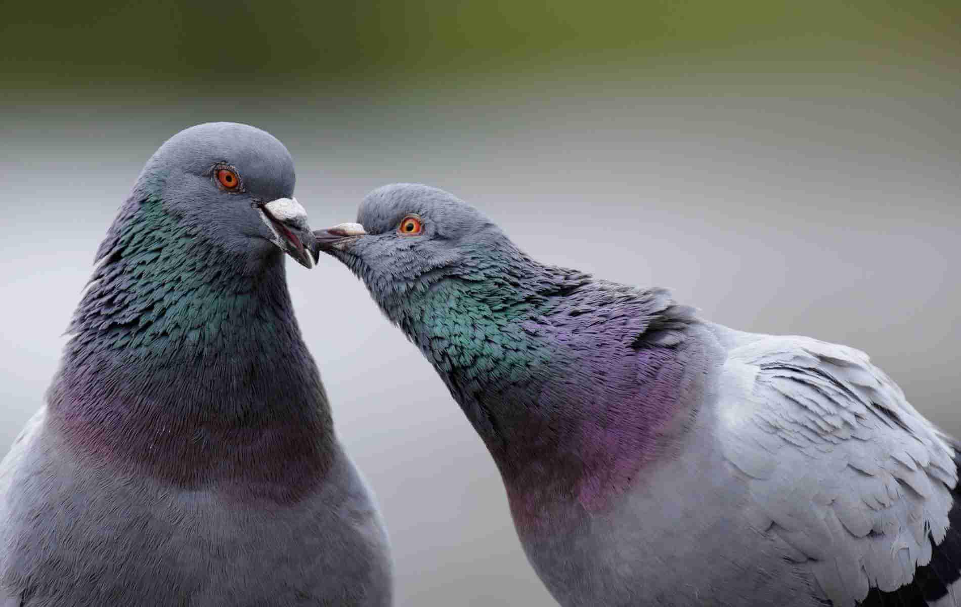 Como afastar pombos?